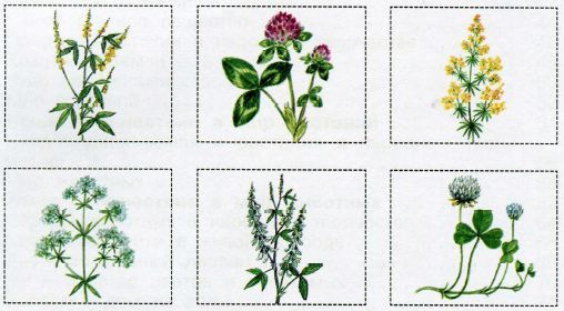 растения луга картинки с названиями