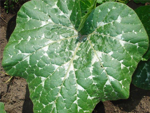 почему у капусты бледные листья