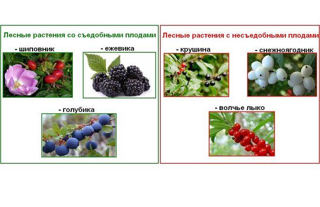 Растения съедобные и несъедобные доклад 9471