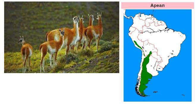 """где живут гуанако, ареал гуанако, животные Южной Америки, """"Дети капитана Гранта"""" место съемок"""