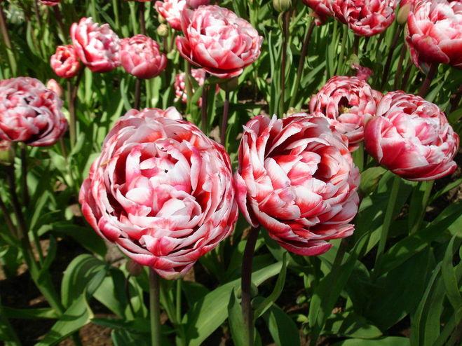 Пионовидные тюльпаны выращивание 972