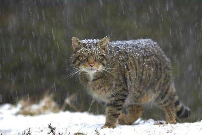 Европейская дикая лесная кошка