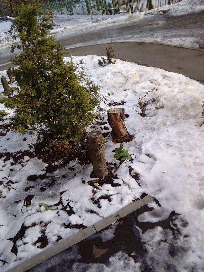 Бадан под снегом