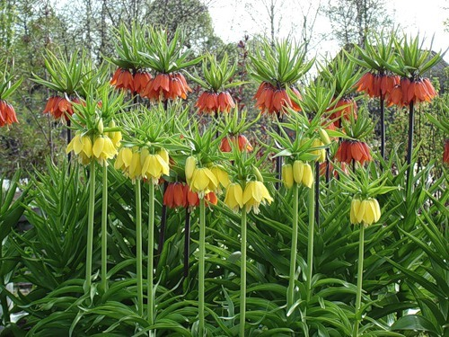 Рябчики императорский цветы 48