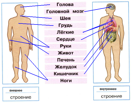 Как нарисовать внутреннее строение человека