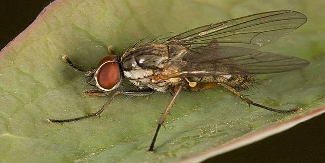 Как избавиться от луковой мухи если она уже появилась