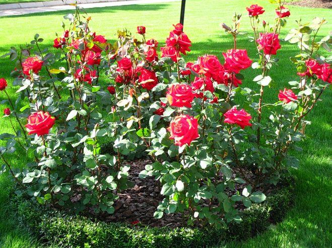 В августе можно сажать розы