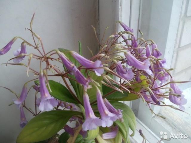 хирита в цвету
