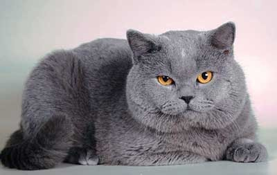 Взрослый кот британец
