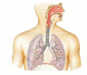 отделы дыхательного тракта