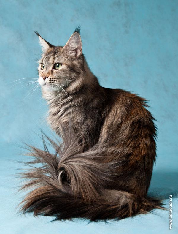 Кошки породы с ушами как у рыси