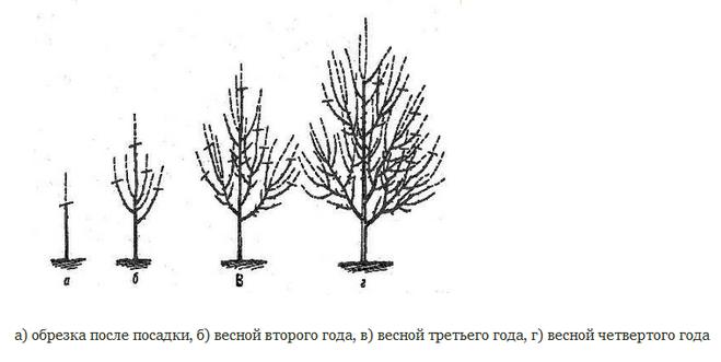 Условия выращивания вишни на урале 83