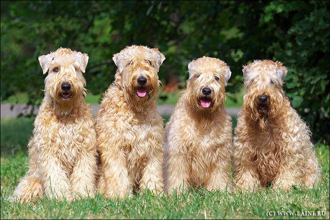 Какие породы собак мало линяют?