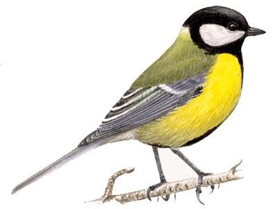 синица,название птицы