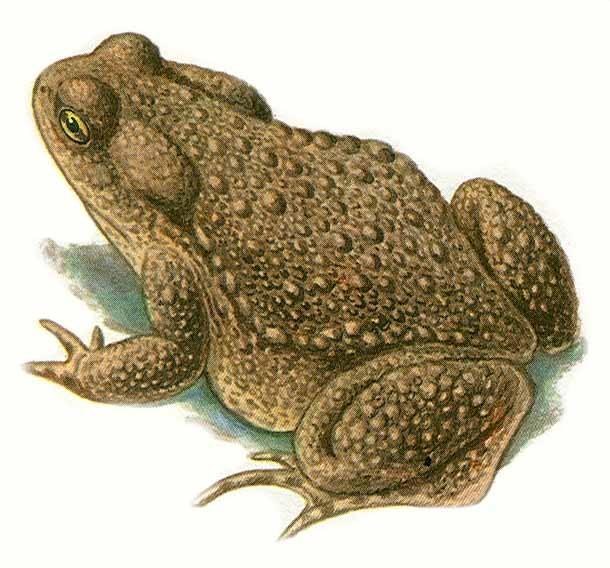 Галерея - жаба