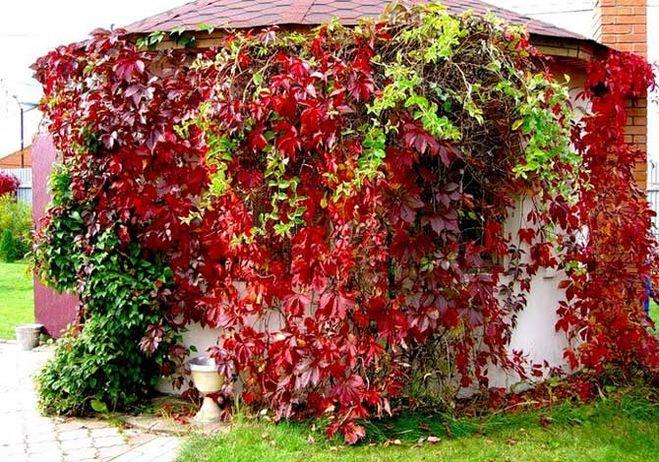 избавиться от девичьего винограда на участке