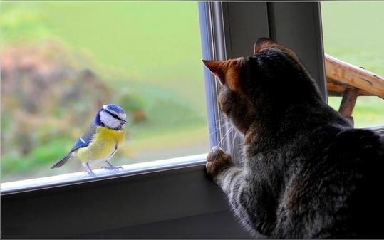 птица в окне и кошка