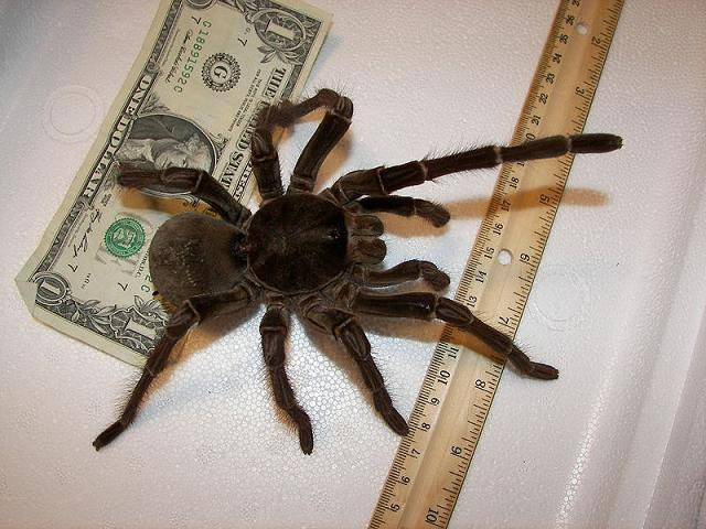 Паук, большой паук