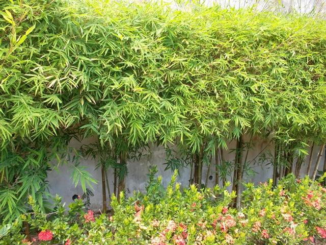Бамбук уличный уход