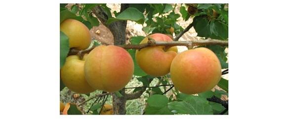неспелый абрикос