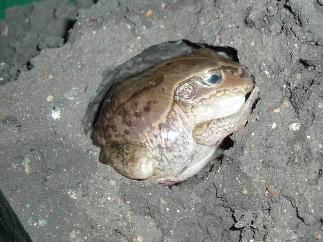 жаба в анабиозе