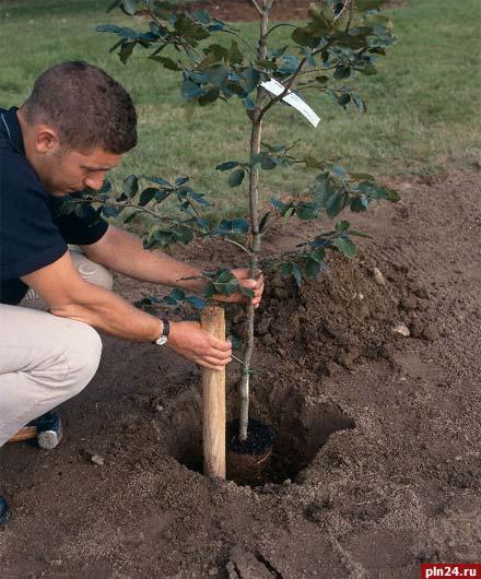Почему нельзя сажать дуб 35