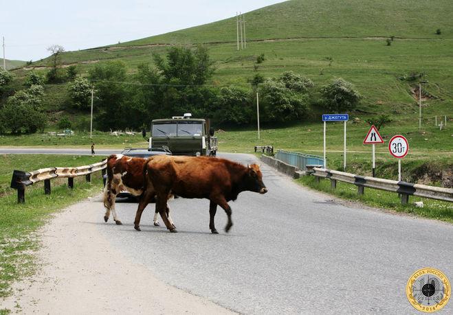 Коровы переходят дорогу