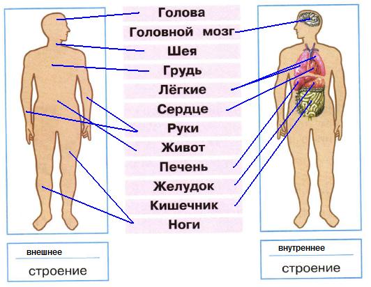 Схема органы человека в картинках с описанием