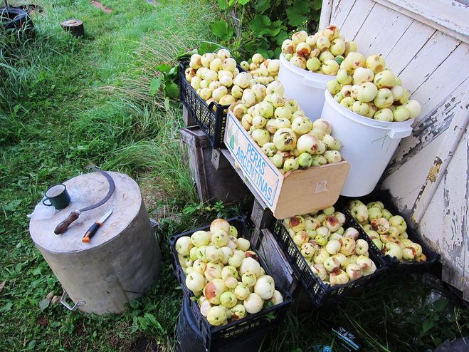 Яблоки сорта Белый Налив