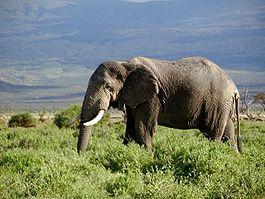 Сколько носит беременность слон