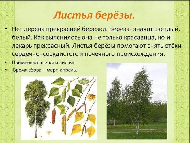 Реферат о дереве береза 2661