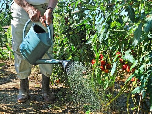 можно ли поливать помидоры