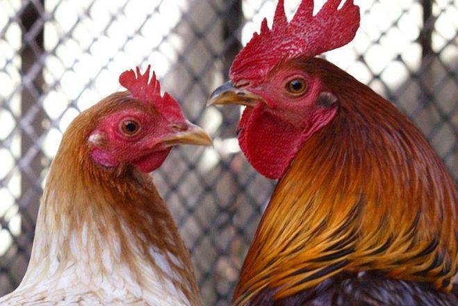 Почему жену петуха зовут курица