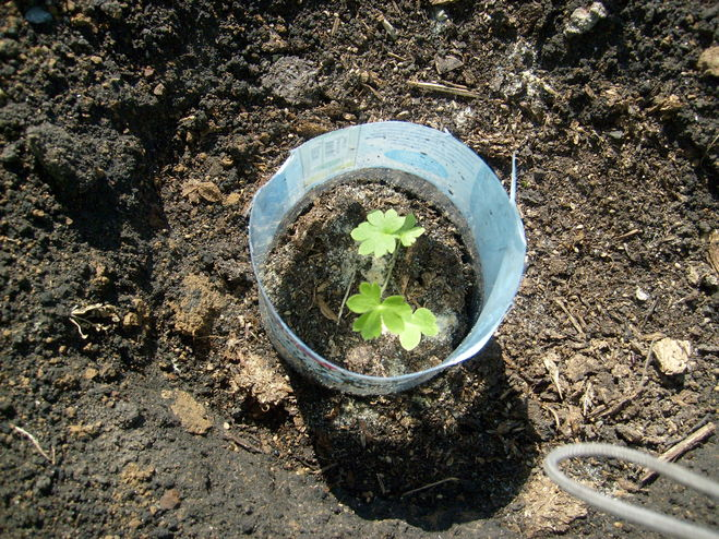 сколько всходят семена сальвии