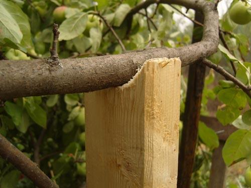 Подпорки для яблони. Как их сделать, чтобы спасти урожай яблок?