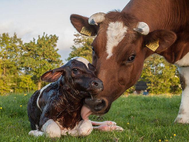 Сколько месяцев длится беременность у коровы