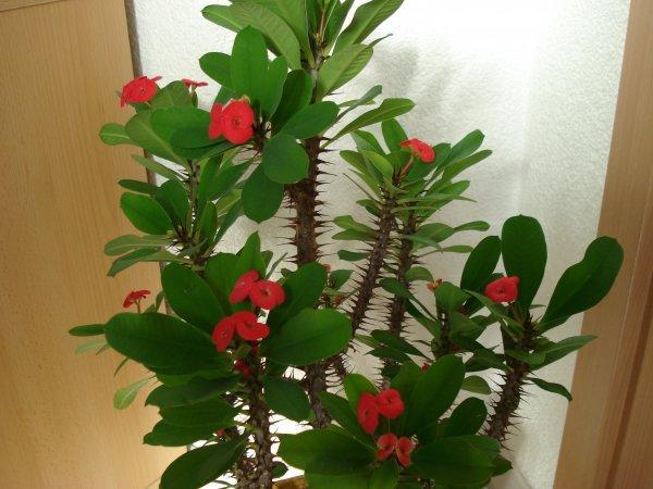 Цветок молочай комнатный уход в домашних условиях