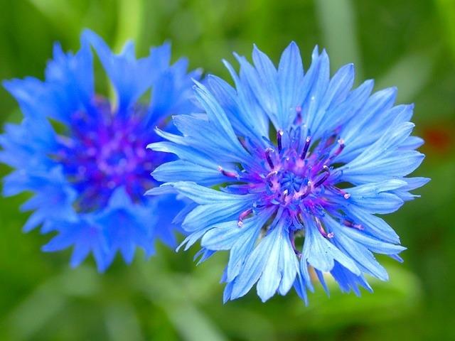 Фото полевых цветов с названиями