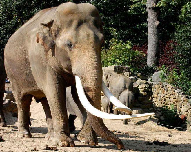 Африканский саванный слон описание чем питается и интересные факты