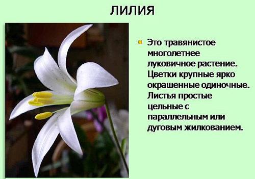 доклад о лилии 2 класс