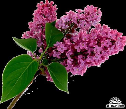 Цветок и похожие на сирень названия 7