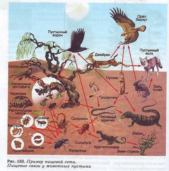 природную зону обитания животных. Цепи питания животных характерные для пустыни