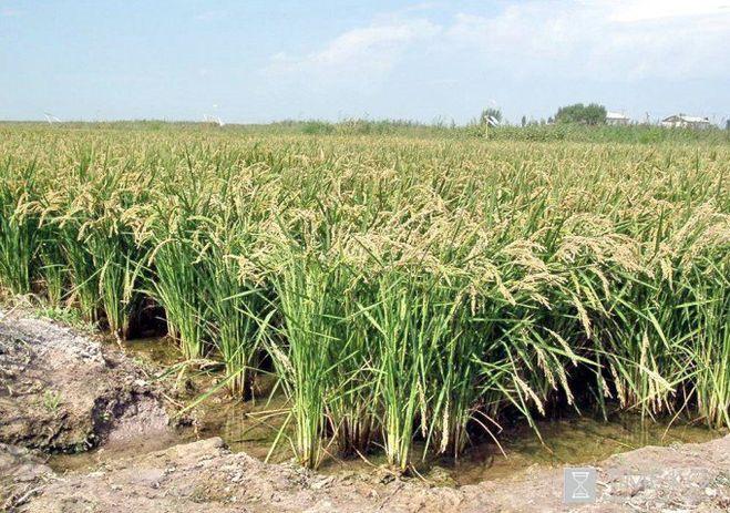 Где растет рис в россии