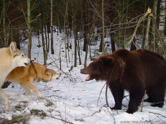 загнать белого медведя в берлогу видео