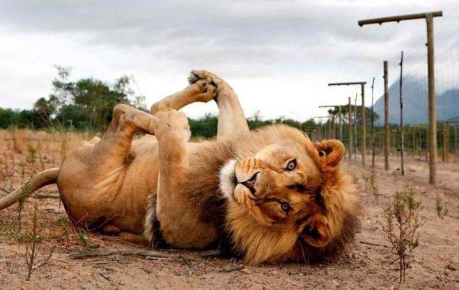 лев царь зверей
