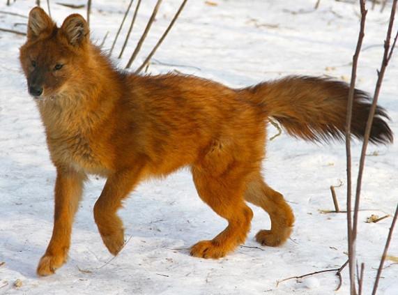 Сообщение о Красном волке. Международная Красная книга. 4 класс Окружающий мир Рабочая тетрадь 1 часть