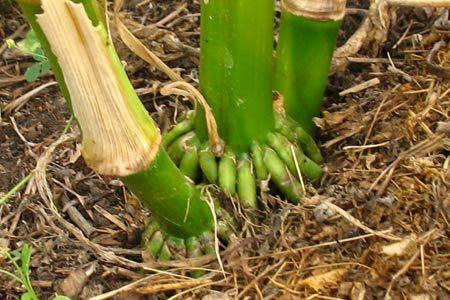 воздушные корни у кукурузы