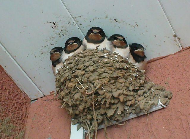 Как делает гнездо ласточка