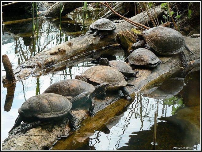 как ловить болотную черепаху