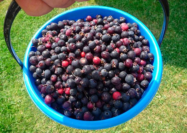 Ирга ягода что можно из нее готовить